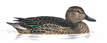 Teal Female