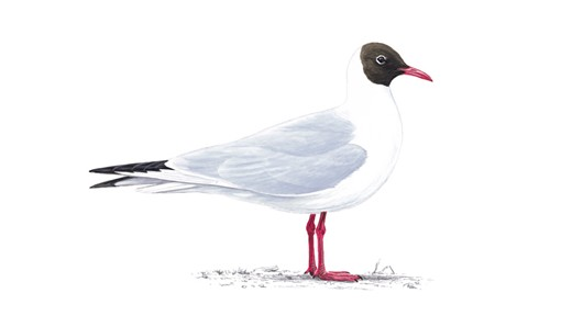 Blackheaded Gull Summer