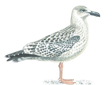 Great black-backed gull first winter