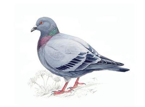 Stock Dove/Feral Pigeon