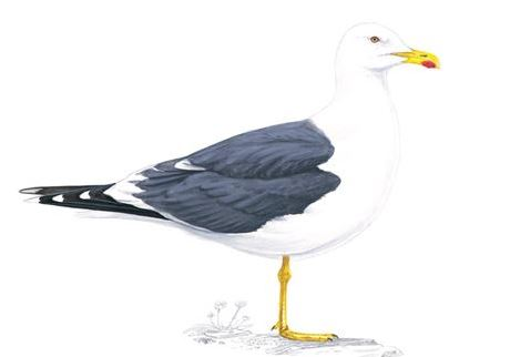 Lesser black-backed gull adult