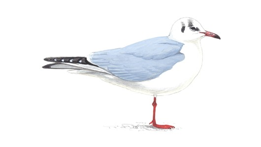 Blackheaded Gull Winter