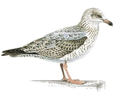 Herring Gull Second Winter