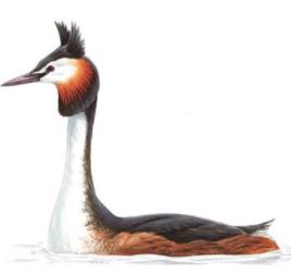 Great Crested Grebe Summer