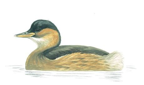 Little Grebe Winter